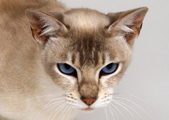 Что предпринять в брачный период кошки?