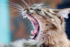 Зубной камень у кошек – важность лечения