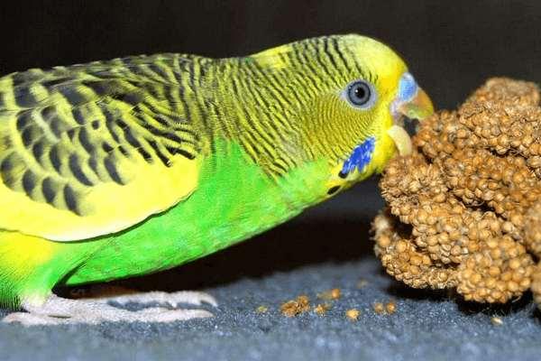 Как кормить волнистых попугайчиков?