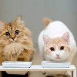 Как правильно кормить кошек