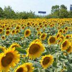 Защита подсолнечника от вредителей и сорняков