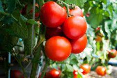 Что происходит с телом, когда вы едите помидоры?